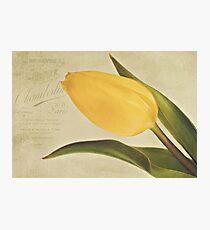 Yellowed Tulip. Photographic Print