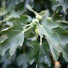 fig tree by Kim Jackman