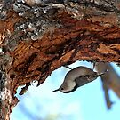 Nuthatch In Search For Food by K D Graves Photography