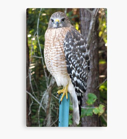 The Hawk Canvas Print
