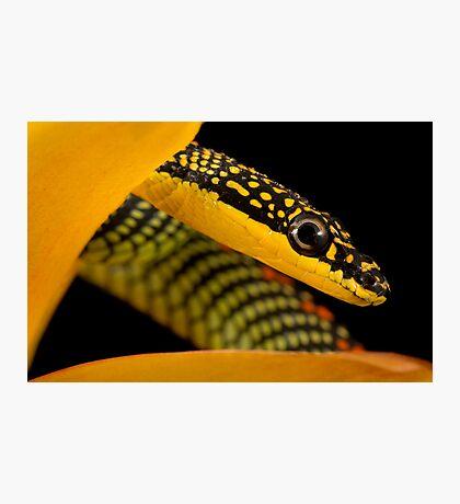 Paradise snake headshot Photographic Print