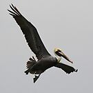 Brown Pelican Flying High by Paulette1021