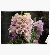 Exquisite, Elegant English Foxgloves Poster