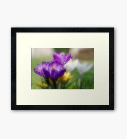 Crocus Flowers Framed Print