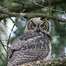 Baby Great Horned Owl by Magnum1975