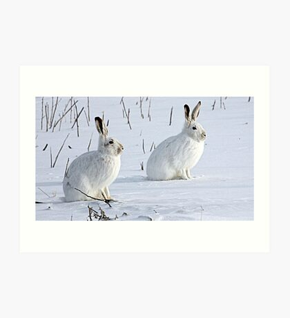 Hare There! North American Snowshoe Hare Art Print