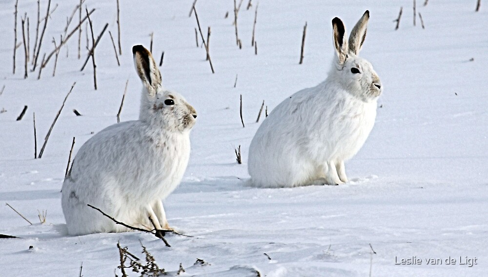 Image result for group of snowshoe hares