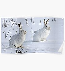 Hare There! North American Snowshoe Hare Poster