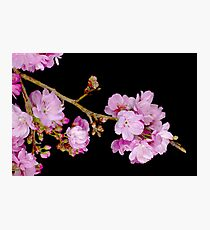 Cherry Blossom 6 Photographic Print