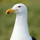 THE CAPE GULL IN PORTRAIT- Larus vetula by Magriet Meintjes