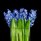 Hyacinths by Heather Prince