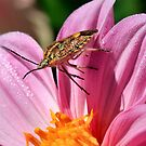 Sunflower seed bug by Ann  Palframan