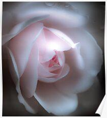 Baby Pink Rose Poster