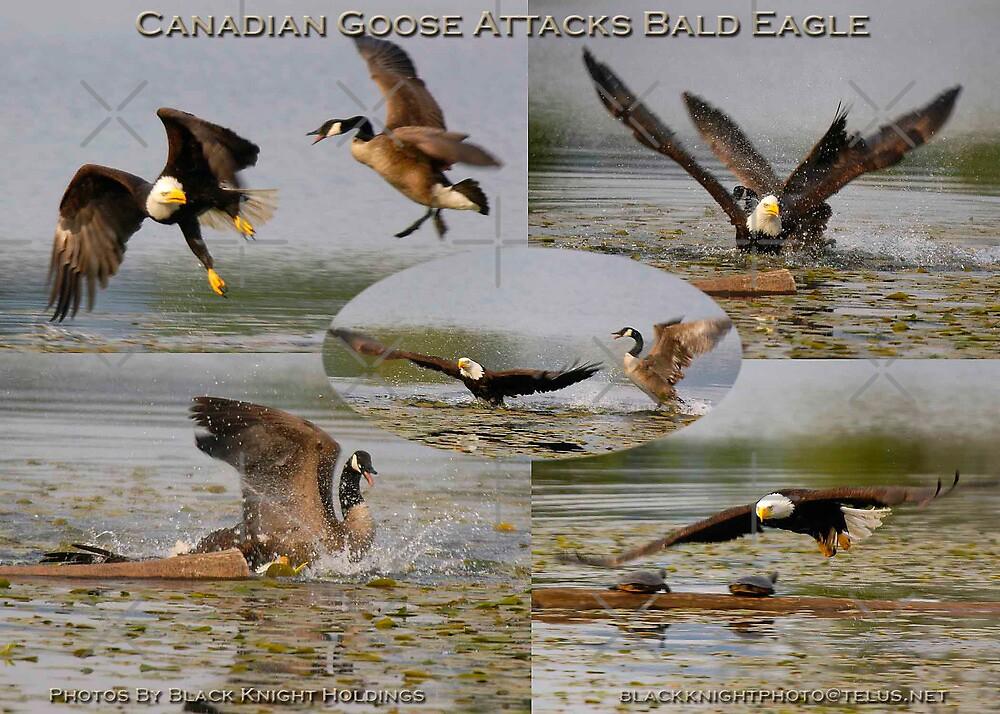Quot Canadian Goose Vs Bald Eagle 2 Quot By Randy Giesbrecht