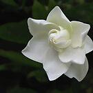 Gardenia by Geoffrey Higges