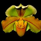 Orchid by Geoffrey Higges