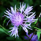 Spotted Knapweed Up Close by Ron Russell