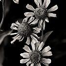 Daisy's by Jeffrey  Sinnock