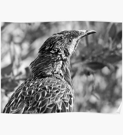 Wattle Bird - Margaret River, Western Australia Poster