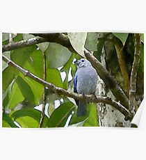 Blue-grey Tanager, Wild Fowl Trust, Trinidad. Poster