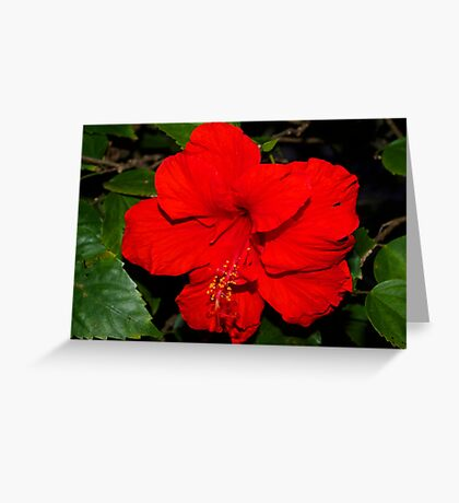 Full red hibiscus Greeting Card