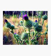 Canadian Thistle Photographic Print
