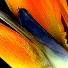 Bird of Paradise, Close Up by Pamela O'Pecko