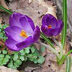 Crocus Colors in the Garden by ienemien