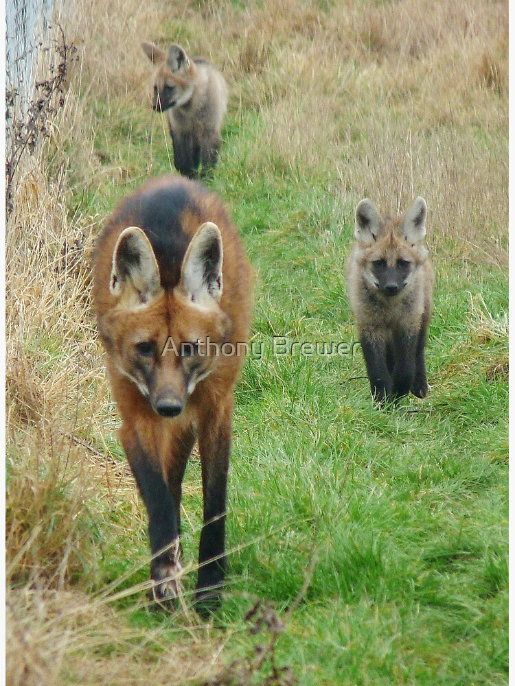 Maned wolf family by dailyanimals