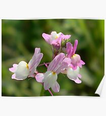 Easter Bunnies! Morroccan Toadflax - ESCAPEE! Poster