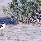 Snowy Plover Adult by Robbie Knight