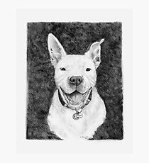 Stanley the Pit bull Photographic Print