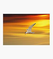 Fliegende Seeschwalbe Photographic Print