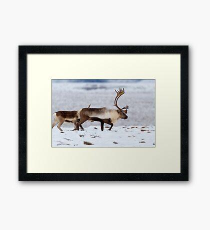 Caribou Migration Framed Print