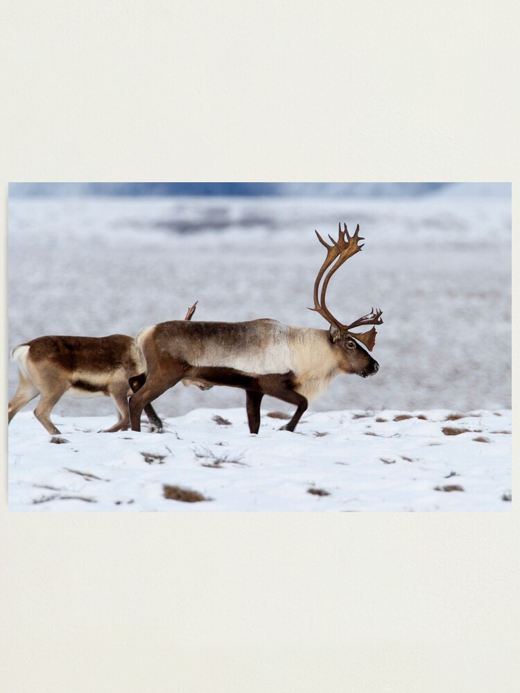 Alternate view of Caribou Migration Photographic Print