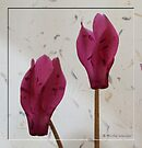 The beauty of cyclamen flowers by © Pauline Wherrell