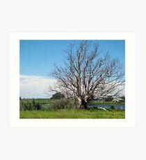 lithgow tree Art Print