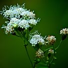 White flower by Andre Faubert