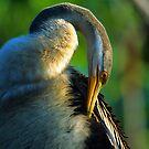 Australian Darter Preening by naturalnomad