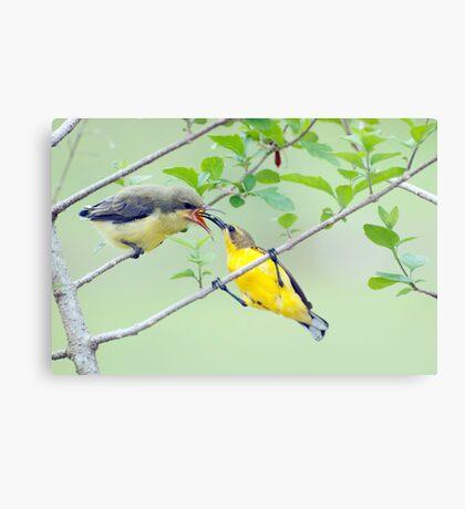 Grubs Up - sunbird feeding babes  Canvas Print