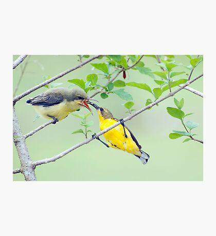 Grubs Up - sunbird feeding babes  Photographic Print