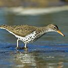 Spotted Sandpiper On the Hunt by Wayne Wood