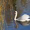 SWANS ~ Peace Love & Tranquility
