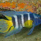 Eastern Blue Devil - Paraplesiops bleekeri by Andrew Trevor-Jones