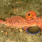 Southern Spiny Gurnard - Lepidotrigla pleuracanthica by Andrew Trevor-Jones