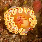 Nudibranch - Ardeadoris rubroannulata by Andrew Trevor-Jones