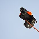 Red-winged Blackbird by Wayne Wood