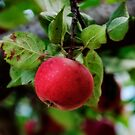An Apple a Day by Debra Fedchin