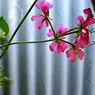 10/3 geranium or pelargonium by Evelyn Bach