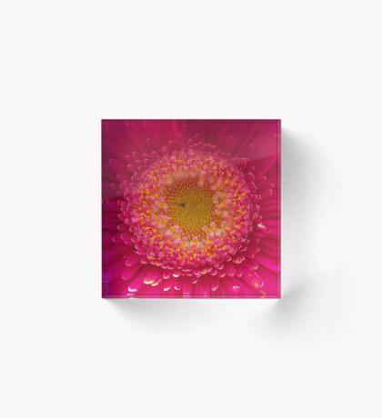 Pink Gerbera Macro Acrylic Block